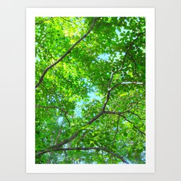 Canopy of Green, Leafy Branches with Blue Sky Art Print