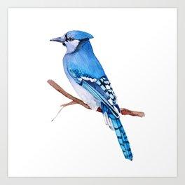Watercolor illustration. Bright Blue Jay bird on white background. Art Print