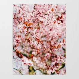 Cherry Blossom Tree (Color) Poster