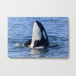 Killer Whale Spy Hop Metal Print
