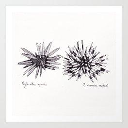 Tropical Sea Urchin Pen & Ink Art Print