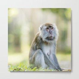 Crab Eating Macaque, Borneo Metal Print