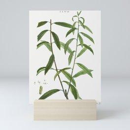 White willow, Salix alba from Traité des Arbres et Arbustes que l'on cultive en France en pleine ter Mini Art Print