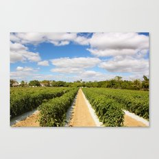 Tomato Fields  Canvas Print