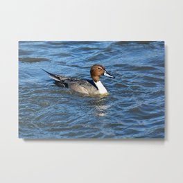 Northern Pintail Duck Metal Print