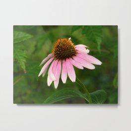 Pink Coneflower Metal Print