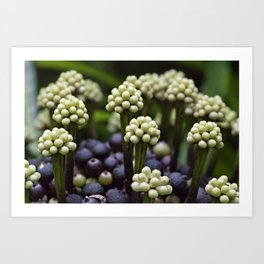 Green Aralia Flowers Art Print