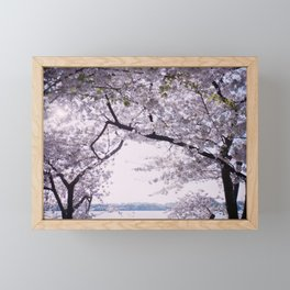 Peeking out from the Cherry Blossoms - Film Photograph Framed Mini Art Print