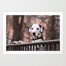 Dalmatian Dog Looking Out Over Gate Art Print