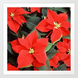 Beautiful Red Poinsettia Christmas Flowers Art Print
