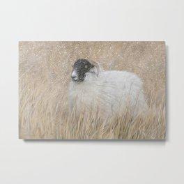 Moorland sheep in the snow Metal Print