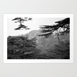 cedars in black and white Art Print