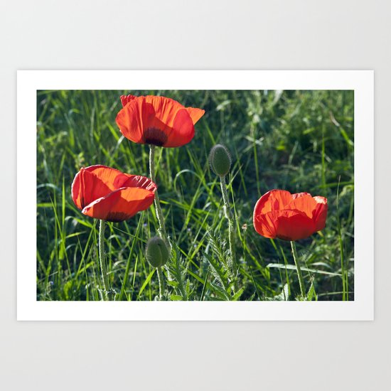 Red Poppies on the summer meadow Art Print
