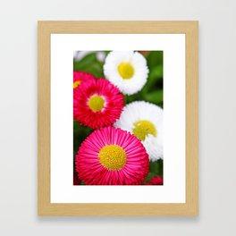 Colourful bellis Framed Art Print