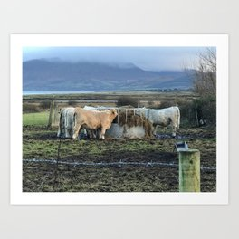Cows Lunch Kerry Ireland Art Print