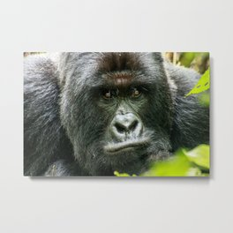Silverback starring at you Metal Print