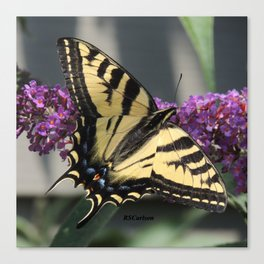 Western Tiger Swallowtail in the Shade Canvas Print