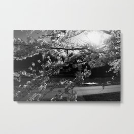Athens, Ohio Sakura Trees Metal Print