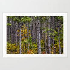 Colorful Leaves of Small Trees among a Grove of Pine Trees along M37 in Autumn No.0922 a Fine Art Fa Art Print
