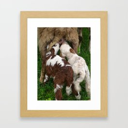 Twin Lambs Suckling From Their Mother Framed Art Print