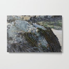 Natural Blue Rock with Limpets and Seaweed Metal Print