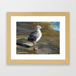 Ring-billed Gull Chick Framed Art Print