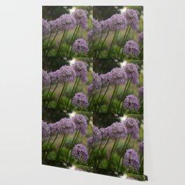 Purple Allium Ornamental Onion Flowers Blooming in a Spring Garden 5 Wallpaper