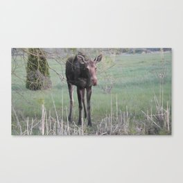 Evening Missy eating willow Canvas Print