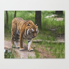 Tiger is walking in the woods Canvas Print