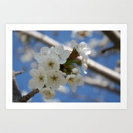 Beautiful Delicate Cherry Blossom Flowers Art Print