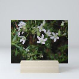 Saxifrage Mini Art Print