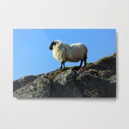 Kerry Hill Sheep Metal Print