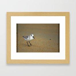 Sanderling Framed Art Print