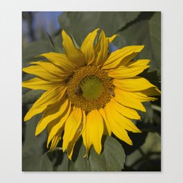 Lively Sunflower Canvas Print