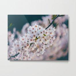 White Cherry Blossom On Branch Metal Print