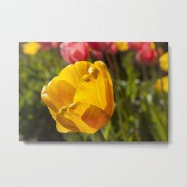Yellow Tulip Photography Print Metal Print