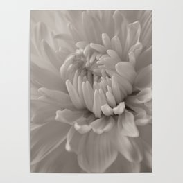 Monochrome chrysanthemum close-up Poster