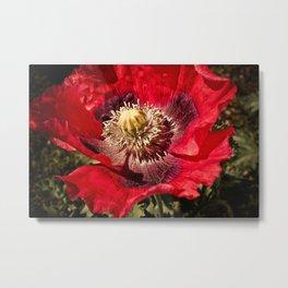 Red Papaver Somniferum Poppy Metal Print