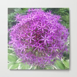 Purple Allium 854 Metal Print