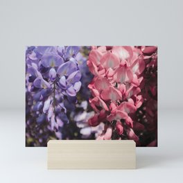 Pink Blue Pink Blue Wisteria Blossoms  Blossoms Mini Art Print