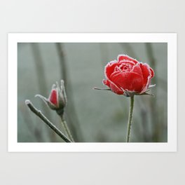 frosted rose and bud Art Print