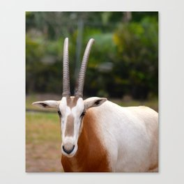 Scimitar Horned Oryx Looking at Me Canvas Print