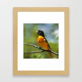 Orange Oriole Framed Art Print