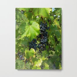 Grapes on the Vine in the Sunshine Metal Print