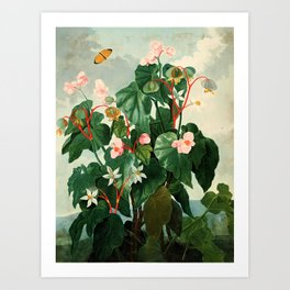 Pink Floral The Oblique-Leaved Begonias : Temple of Flora Art Print