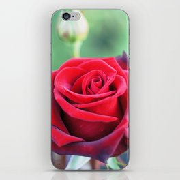 Roses on the city flowerbed. iPhone Skin