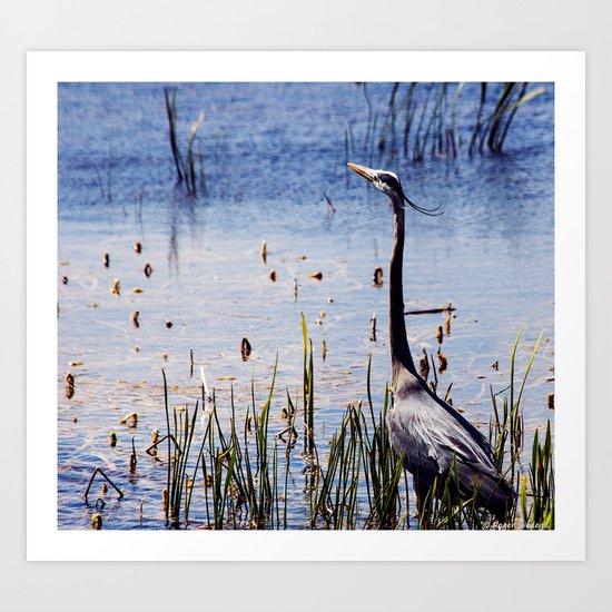 Great Blue Heron In The Florida Wetlands Art Print