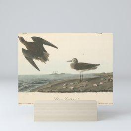 Vintage Print - Birds of America (1840) - Schinz's Sandpiper Mini Art Print