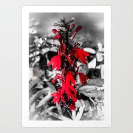 Cardinal Flower Art Print
