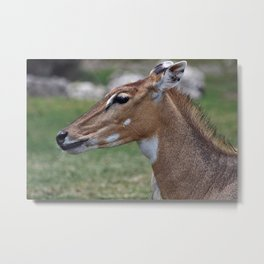 Persian Gazelle Metal Print